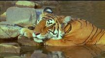 Tiger Using Rocks For Pillow While Resting In Water