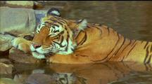Resting Tiger Reflected In Water,