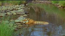 Panting Tiger Causes Water To Ripple