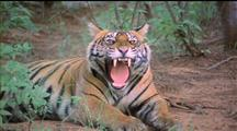 Sitting Panting Tiger Yawns, Licks Chest And Paws