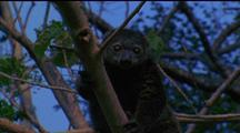Bear Cuscus High In Branches, Climbs