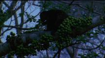 Dwarf Cuscus On Thick Branch, Surrounded By Green Berries