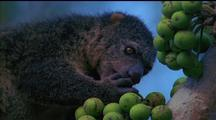 Dwarf Cuscus Eating Green Berry, Yanks It From Bunch