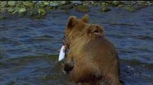 Brown Bear Gets Out Of Water With Flapping Fish, Fish Escapes, Bear Runs After It Unsuccessfully