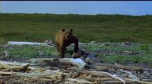 Brown Bear Ranging Across Broken Logs And Driftwood