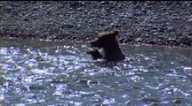Brown Bear In River, Struggling Fish In Mouthl Another Fish Flaps Past