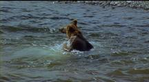 Brown Bear Leaping About In Teeming Water Not Catching A Fish!