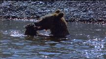 Brown Bear Rips Apart Fish In The Water, Chews Its Head Off, Shakes Head