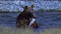 Brown Bear Sits On Haunches In Water Feasting On A Fish.