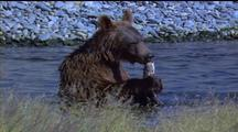 Brown Bear Bites Off Fishes Head, Walks Away With It
