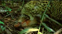 Javan Leopard Collects Kill And Takes It Away