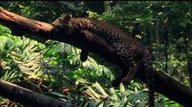 Javan Leopard Resting On Tree Branch, Jungle Book Cartoon Style. Gets Up And Walks Up And Away