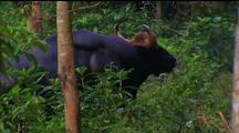 Water Buffalo In Trees, Standing