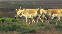 Asiatic Wild Ass Herd Walk R - L