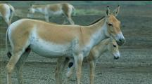 Asiatic Wild Ass Adult And Foal