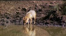 Golden Jackal Drinks From Waterhole, Lapping It Up