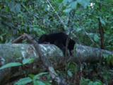 Malayan Sun Bear Falls Off Log, Goes To A Person Out Of Shot