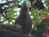 New Zealand Bird, Kaka Feeds On Fuchsia Flowers