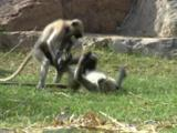 Four Or Five Langur Monkeys Play Fighting And Romping On Ground