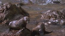 Juan Fernandez Fur Seal Babies Play On Rocks, Struggle Against Surf