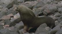 Juan Fernandez Fur Seal On Waddles Across Rocks
