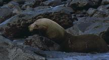 Juan Fernandez Fur Seal Enters Water Head First