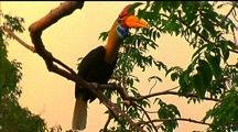 Red-Knobbed Hornbill Flies From Tree To Tree