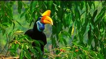 Mws Red-Knobbed Hornbill Perched In Tree Eating Red Berries