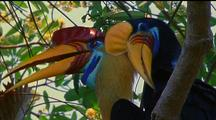 Red-Knobbed Hornbills Perch In Tree Together