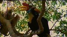 Red-Knobbed Hornbills Perch In Tree, Preening