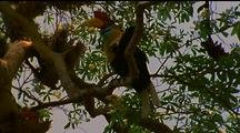 Red-Knobbed Hornbill Climbs Up Branch To Join Mate