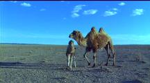 Bactrian Camel & Calf In Desert Made Nervous By Another Calf Running Thru Frame