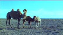 Bactrian Camel And Calves Stand Together