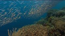 Shoal Of Coral Reef Fish Incl Yellow, Blue,Stripey Ones Swim To And Fro