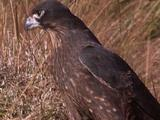 New Zealand Falcon Standing In Long Grass, Shakes Head