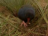 Takahe (New Zealand Large Flightless Rail) Pecking At Grass Stalk