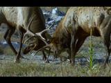 American Elk/Wapiti With Antlers Locked During Rut