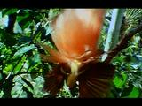 Male Lesser Bird Of Paradise Shaking Tail Feathers And Flapping Wings In Tree