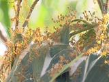 Swarm Of Weaver Ants All Over Eucalyptus Leaf Nest And Branches
