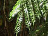 Arching Fronds Of Lush Tree Ferns Sway Gently In Forest