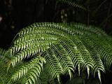 Lush Tree Fern Fronds Arch Out Of Dark Verdant Rainforest