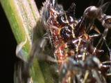 Xcu Ants Swarm Over Caterpillar As It Crawls Up Stalk