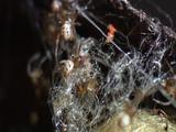 Red Backed Spiderlings Exit Cocoon Nursery, Crawl Over Silk Threads All Over Plant Pot