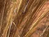 Long Grasses, Blowing In The Wibnd. Z/I To Cu Dune Ants On Grass Stalk
