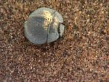 Bcu Small White Waxy Coated Beetle  Digs Into Sand