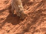 Cape Bristled Ground Squirrel Searching Food Previously Hidden In Cache, Digs In Sand Finds Food