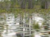 Lily Pads And Reeds In Everglades Swamp, Sun And Trees Reflected On Water