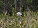 Wood Ibis Standing Amongst Lily Pads & Reeds, Takes Off