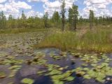Everglades; Lily Pads On Open Swamp, Cypress Trees On Peat Islands
