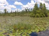 Travel Thru Everglades; Lily Pads, Open Swamp, Cypress Trees Etc On Peat Islands B/G